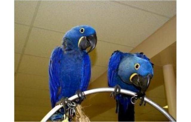 Azul loros lindos jacinto de guacamayos para la venta