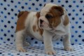 REGALO INCREIBLES CACHORROS DE BULLDOG INGLES