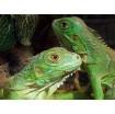 Iguana Baby, iguana verde o teyú