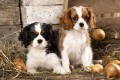 Regalo Cavalier King Charles cachorros