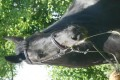 Hermoso y suave montar Friesian Mare